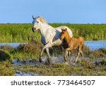 white camargue horse with his... | Shutterstock . vector #773464507
