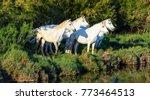 white camargue horses standing... | Shutterstock . vector #773464513