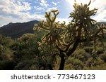 Chain Fruit Cholla Cactus In...