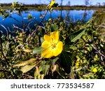 pretty yellow marsh marigold in ... | Shutterstock . vector #773534587