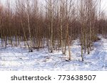 Silver Birch Trees In Winter