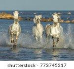 white camargue horses galloping ... | Shutterstock . vector #773745217
