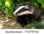 a european badger | Shutterstock . vector #77379742