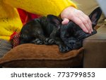 Small photo of grandmother fondle, petting sleeping black French bulldog. senior lady patting, stroking, pat young pet. granny, elderly woman love her friend. closeup old hand touch dog head. sleep, doze on couch