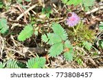 mimosa invisa  giant sensitive...   Shutterstock . vector #773808457