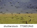 birds in ngrorongoro national... | Shutterstock . vector #773851963