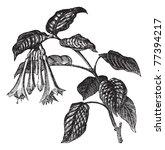 Fuchsia Fulgens  Vintage...