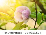blossoming of magnolia pink... | Shutterstock . vector #774011677