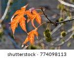 Autumnal Liquidambar Leaves...