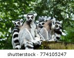 lemurs  a group of ring tailed... | Shutterstock . vector #774105247