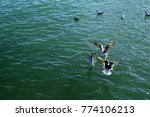 a flock of seagulls on the sea... | Shutterstock . vector #774106213