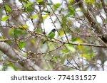 beautiful blue eared barbet ...   Shutterstock . vector #774131527