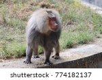 male baboon in captivity | Shutterstock . vector #774182137