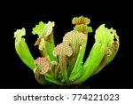 carnivorous plants sarracenia...   Shutterstock . vector #774221023