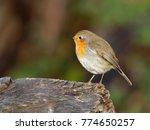 robin   erithacus rubecula  | Shutterstock . vector #774650257