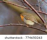 robin   erithacus rubecula  | Shutterstock . vector #774650263