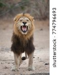 Small photo of A vertical, full length, colour photograph of a large, black-maned lion, Panthera leo, eyes closed and yellow canine teeth bared, sneeze or roar in the Greater Kruger Transfrontier Park, South Africa.