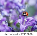 Single Ladybug on violet bellflowers in the garden in spring - stock photo