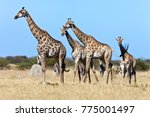 a group of giraffe  giraffa...   Shutterstock . vector #775001497