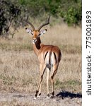 Small photo of A male Impala (Aepyceros melampus melampus) in the Savuti region of Botswana.