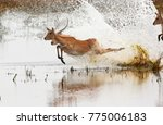 A Group Of Red Lechwe Antelope...