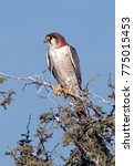 Small photo of A young African Goshawk (Accipiter tachiro) in the Chobe River region of Botswana.