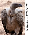 Small photo of A White-backed Vulture (Gyps africanus) in northeast Zimbabwe.
