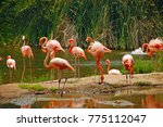 flock of pink flamingos at the... | Shutterstock . vector #775112047