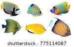 tropical fish isolated on white ... | Shutterstock . vector #775114087