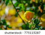 yellow rose on green leaf