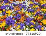 Primrose Flowers In A Garden