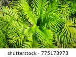close up fern leaf with center... | Shutterstock . vector #775173973