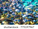 Small photo of A school of doctorfish (Acanthurus chirurgus) swim along the coral reef in the Carribean, Little Corn Island, Nicaragua.