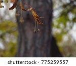 brown tilia fruit