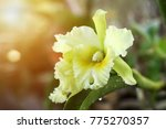 beautiful yellow orchid flower  ... | Shutterstock . vector #775270357
