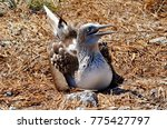 blue footed booby  sula... | Shutterstock . vector #775427797