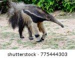 giant anteater approaching | Shutterstock . vector #775444303