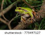 Pine Barren Treefrog  Hyla...