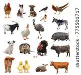 livestock on a white background.... | Shutterstock . vector #775501717