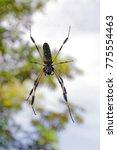 Small photo of Banana spider / Golden silk spide - Costa Rica