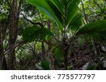 in the jungle of mahe island at ... | Shutterstock . vector #775577797