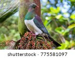 A native wood pigeon or kereru sits on the branch of a nikau palm tree above red berries in a forest in Auckland, New Zealand.
