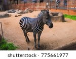a lonely young zebra | Shutterstock . vector #775661977