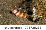 Small photo of Gorgeous shrimp goby, Amblyeleotris wheeleri, with prawn Bali Indonesia