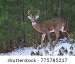 white tailed deer | Shutterstock . vector #775785217