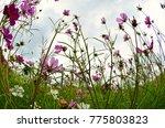 cosmos flowers blooming under... | Shutterstock . vector #775803823