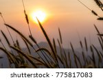 the grass field is very... | Shutterstock . vector #775817083