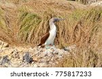 blue footed booby  isla isabel  ... | Shutterstock . vector #775817233