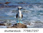 blue footed booby  isla isabel  ... | Shutterstock . vector #775817257