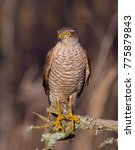 Small photo of Eurasian Sparrowhawk - Accipiter nisus 1cy male